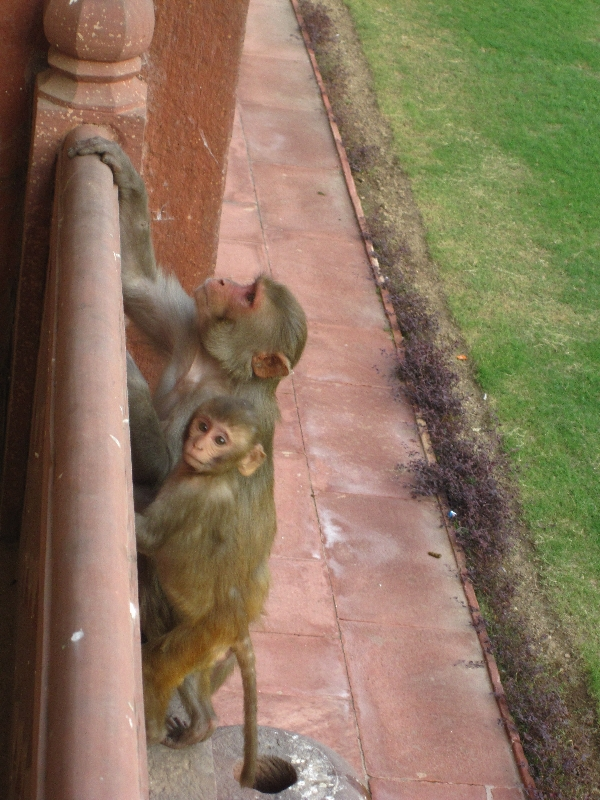 monkey-in-the-agra-fort