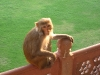 another-monkey-in-the-agra-fort