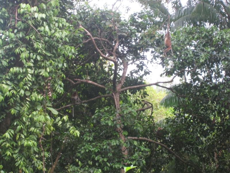 proboscis-monkey