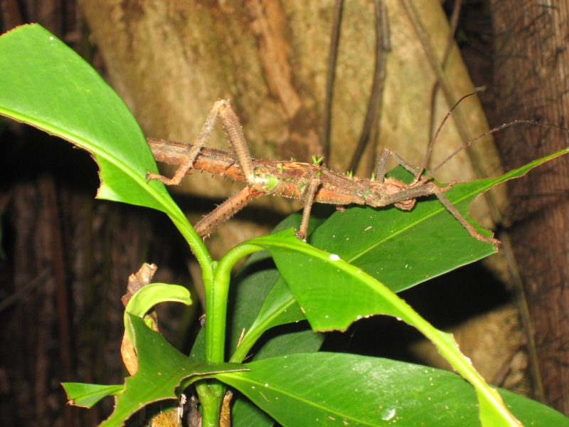sabah-spiny-stick-insect