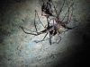 cave-spider