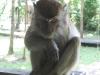 mischievous-macaque
