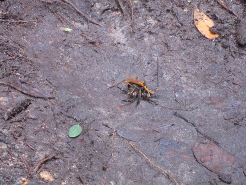 wasp-eating-a-tarantula