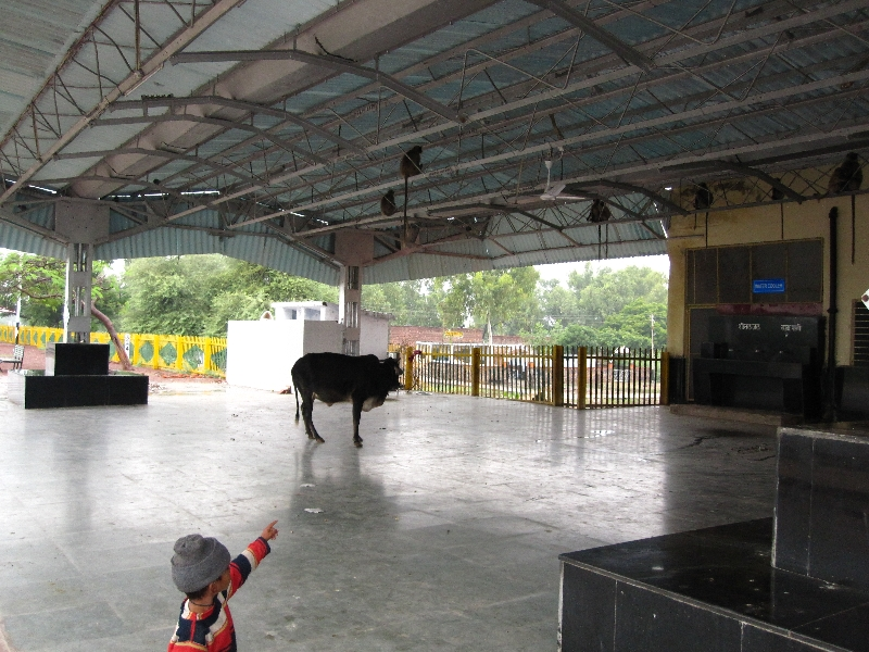 bundi-cows-in-the-railway-station