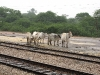 bundi-cows-watchig-trains