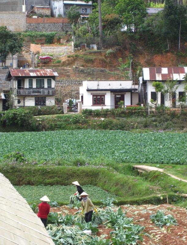 women-harvest-artichokes