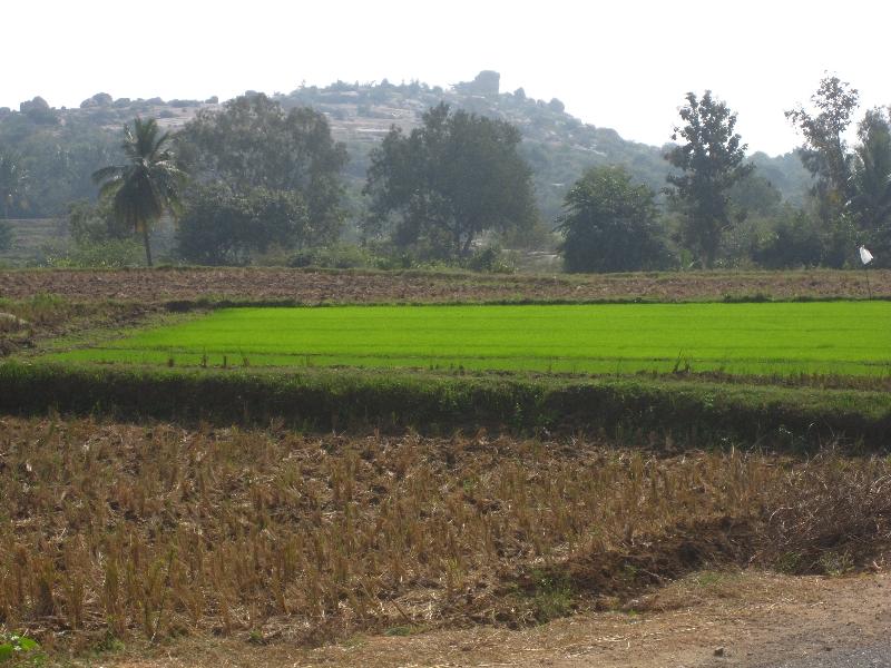 a-rice-field