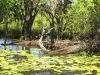 saltwater-crocodile-taking-a-sunbath