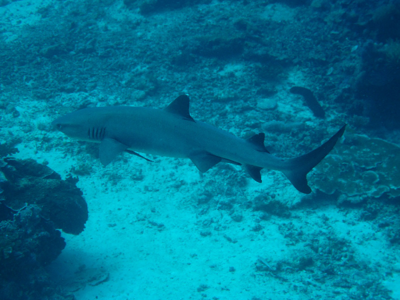 grey-reef-shark