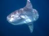 sunfish-mola-mola
