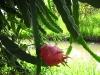 a-dragon-fruit