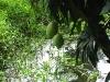a-mango-tree