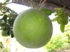 my-favorit-fruit-is-pomelo