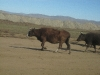 well-feeded-cow-on-a-mongolian-road