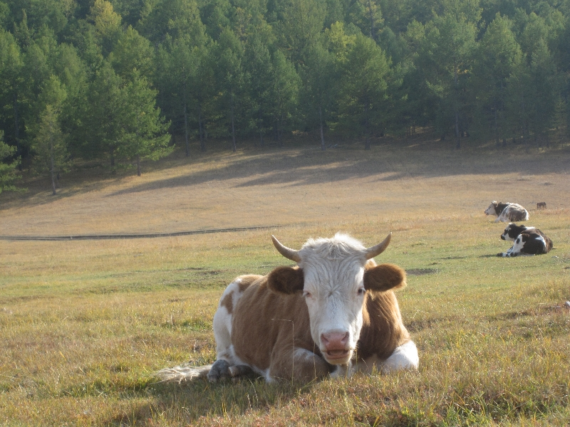 dump-cow
