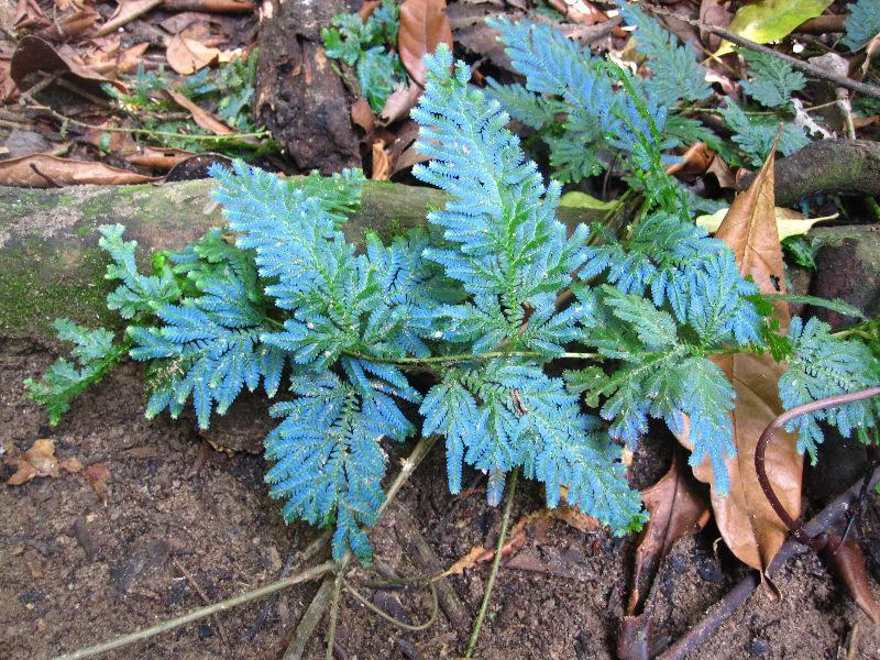 blue-fern