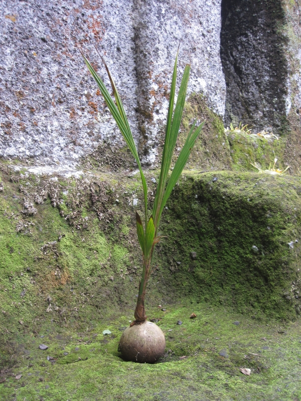coconut-tree-junior