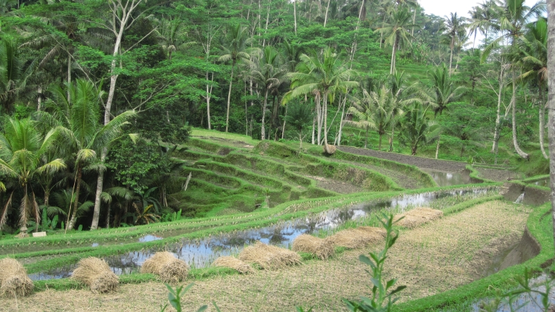 ricefields-near-the-gunug-kawi-temple