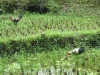 chucks-in-the-ricefield