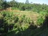 coconut-trees-in-the-tegallalang-ricefields
