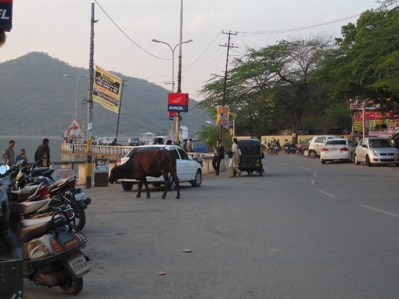 again-a-cow-by-the-lake-fateh-sagar