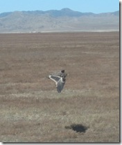 In Mongolia there are lots of eagels and vulture eating the dead animals_klein