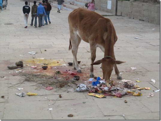 Cow eating garbage