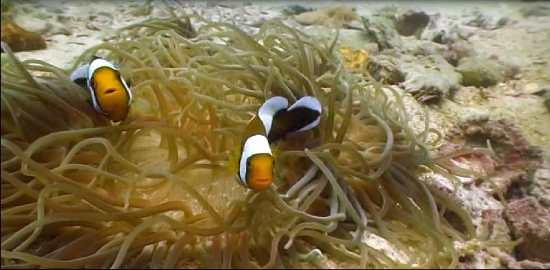 Clownfischen begegnen beim Tauchen in Thailand