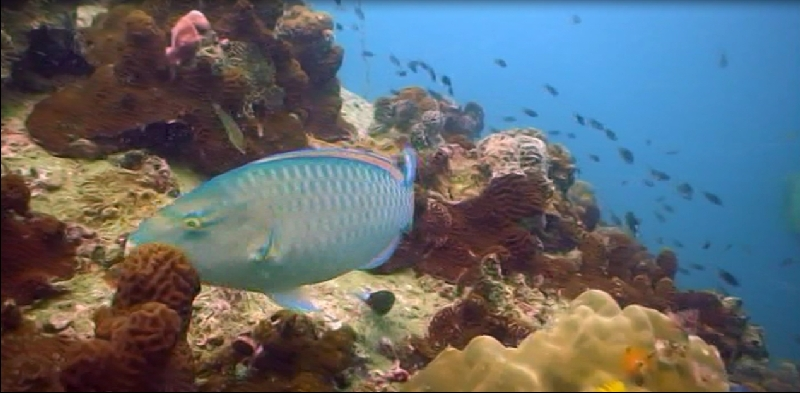 Parrot Fish in Thailand