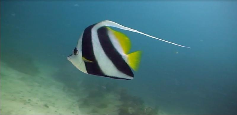 Long Fin Banner Fish