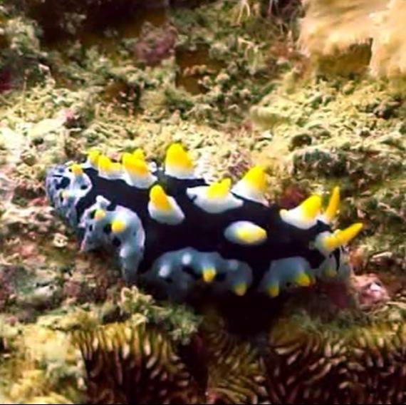 Fremdartige Wesen unter Wasser - Phyllidia varicosa - Variable Warzenschnecke