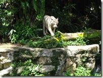 Der Zoo von Singapur - weisser Tiger