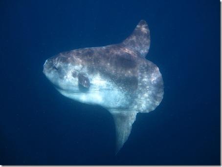 Mola mola - Mondfisch auf Sipadan