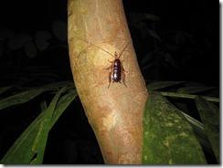Eine Wald-Kakerlake