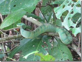 Pit Viper - Grubenotter in Malaysia