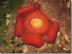 Rafflesia the biggest flower of the world, hier 67 cm