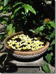 Frangipani Blüten in einem balinesischen Brunnen