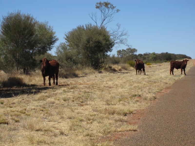 Wilde Rinder Australien